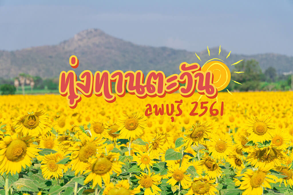 ทุ่งทานตะวัน ลพบุรี 2561