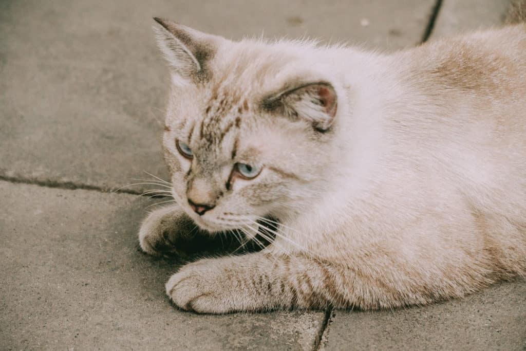 แมวเต้าหู้